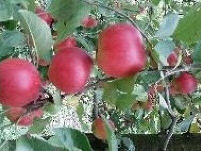 Vand mere pentru consum si industrie