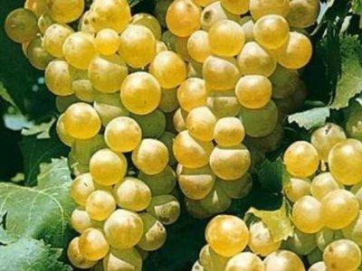 Vand struguri de vin feteasca regala si alba