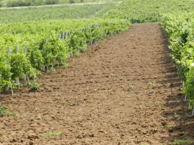 Vand 10 hectare plantatie cu vita de vie