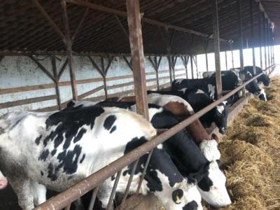 Vanzare junici si vitele rasa holstein