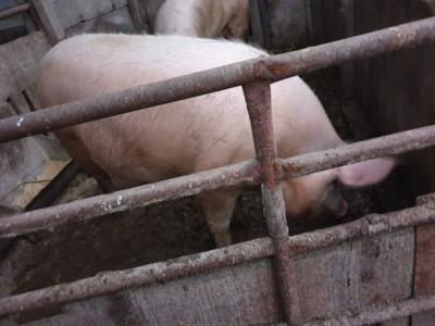 Vand porc 180kg
