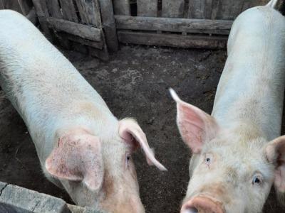 Porc spre vanzare