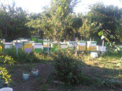 Familii de albine pe 10, rame 3/4. miere100% natur