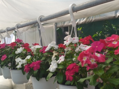 Producator flori si plante ornamentale la ghiveci