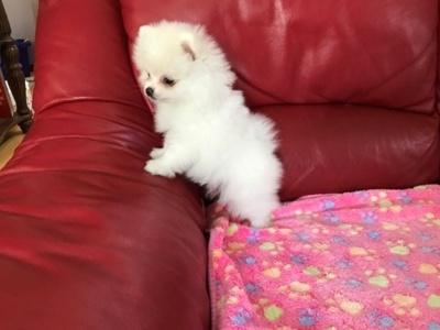 Pomeranian calitatea 1 cu părinții cu pedigree tea