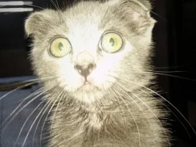 Vand pisicuta scottish fold adorabila