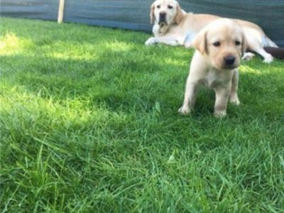Fetițe labrador